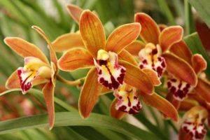 Цветы сорта Дикая орхидея - что это, описание и уход, на фото показана дикорастущая, раскрываем другое название, которое носит растение