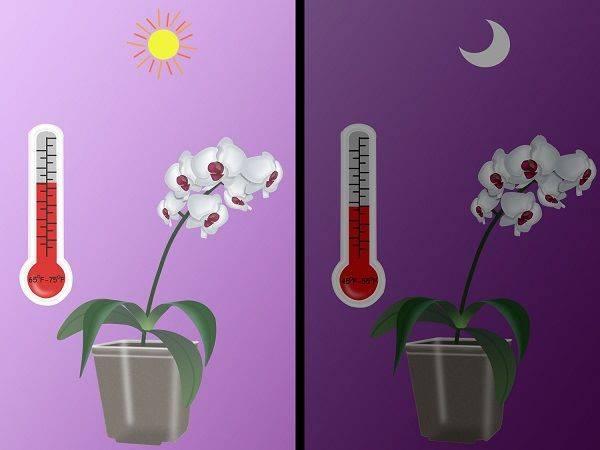 Как от орхидеи взять отросток