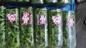 Тайская орхидея 19 фото особенности цветов в бутылках из Таиланда адаптация орхидеи из Азии в колбе